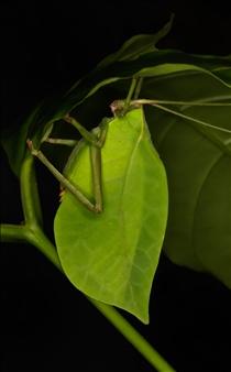"""Cycloptera arcuata/""""Greenpea"""""""