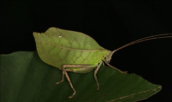 "Cycloptera speculata/""Grayson"""