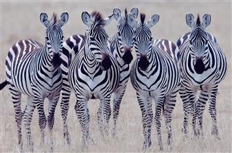 Zebra Girls