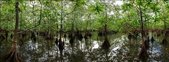 Utria Mangrove Swamp