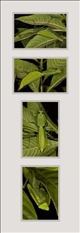 "Macromantis hyalina/""Raptor"""
