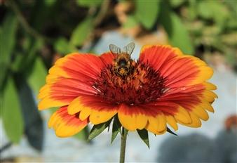 Looking Bee