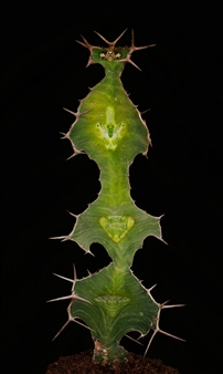 "Euphorbia Totem/""Totem"""
