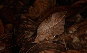 """Typophyllum sp./""""Autumn"""""""
