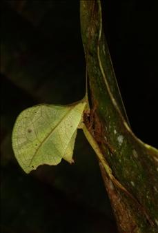 """Typophyllum mortuifolium/ """"Alexei"""""""