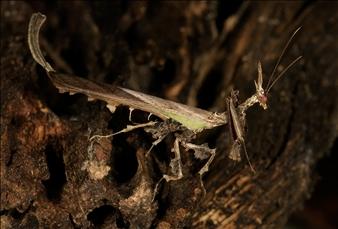 "Stenophylla cornigera/""Draco"""