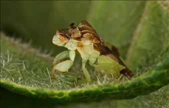 "Phymata sp./""Ripper"""