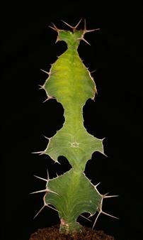 "Euphorbia grandialata/""Razgul"""