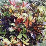 Crotons II Victoria's Garden Rarotonga