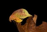 "Pycnopalpa sp./""Robin"""
