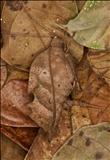 "Typophyllum bolivar/""Hannah"""