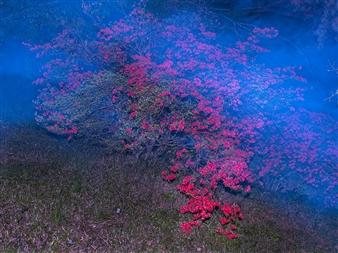 """Satsuki Azalea in the Sea Photography on Canvas 21.5"""" x 29"""""""