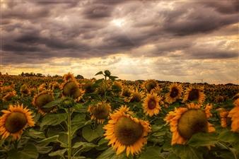 """My magic sunflower field - Mariana Vencelová - Austria Photograph 0"""" x 0"""""""