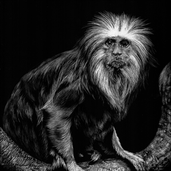 """Golded Headed Lion Tamarin Ink & Clay on Scratchboard 8"""" x 8"""""""