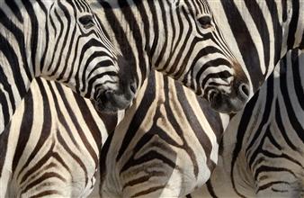 "Plains Zebras, Etosha Photographic Print on Aluminum Dibond 20"" x 30"""