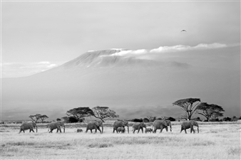 Elephants and Mt. Kilimanjaro