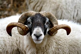 "My horns are my pride - Vladislavs Kundzins - Latvia Photograph 0"" x 0"""