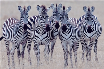 Zebra Girls