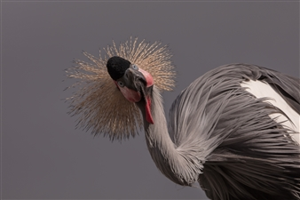 """Balearica Pavonina is watching You! - BERNABE Claude  - France Photograph 0"""" x 0"""""""