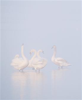 "Swans Photographic Print on Aluminium Dibond 24"" x 16"""