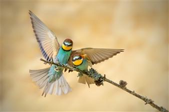 "European bee-eater in the flow - Zdenek Pachovsky - Czechia Photograph 0"" x 0"""