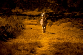 "Alpaca - Gabriel Fox - Brazil Photograph 0"" x 0"""