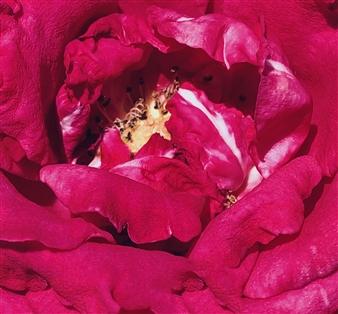"""Crimson Archival Pigment Print 35"""" x 33"""""""