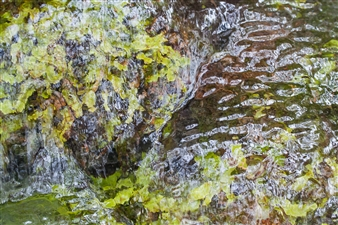 Liverwort Ripple