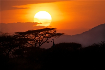 Sunset in Samburu. Giraffe