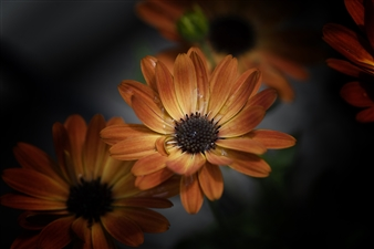 """Evening with Aferician Daisy - Kelvin Watkins - United states Photograph 0"""" x 0"""""""