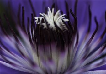 Heliotrope