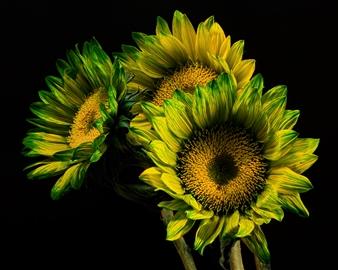 "Green California Sunflower Trio - Thomas Jerger - United States Photograph 0"" x 0"""