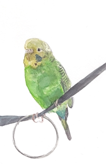 Pocky - Budgie