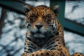 """Panthera Onca - Michael Froment - United Kingdom Photograph 0"""" x 0"""""""