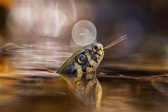 "Grass snake in the spotlight.. - Radim Hlaváč - Czechia Photograph 0"" x 0"""