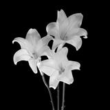 Three Lilies #15