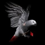 Coq à L'âme (Rooster to Soul)